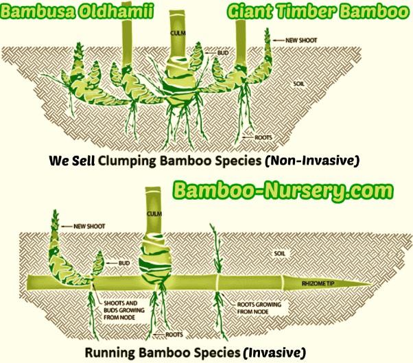 clumping-bamboo-for-sale-tampa bay sarasota wauchula florida website